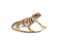 The Common Collared Lizard Iso...