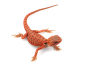 Red Bearded Dragon Isolated On White Background