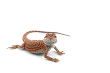 Red Bearded Dragon Isolated On...