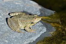 Lake Frog Basking On A Rock