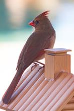 Female Cardinal Sitting On Bir...
