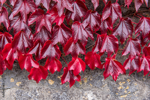 Carta da parati Bright red creeper leaves hanging in front of a grey wall.
