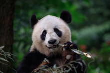 Panda Bear Munching/Eating Bamboo In Sichuan Province, China. Holding Stick Of Bamboo In Left Paw, Looking Directly At Viewer. Endangered Wildlife Conservation In China