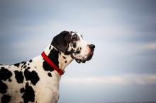 Great Dane Dog Outdoor Portrai...