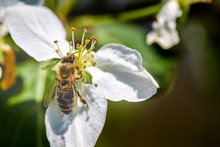 The Bee Sits On A Flower Of A Bush Blossoming Apple-tree And Pollinates Him