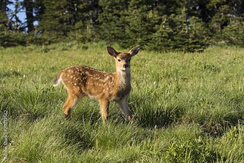 Spoed Foto op Canvas Hert Baby deer stopping to look around