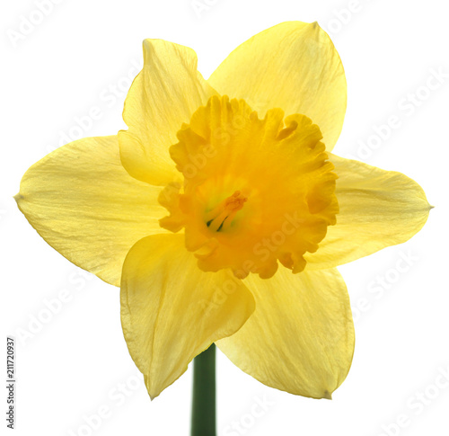 Staande foto Narcis Flower daffodil