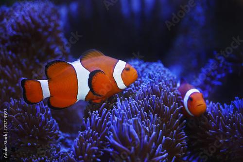 Obraz na płótnie ocellaris clownfish and anemone