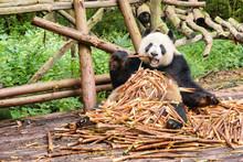 Funny Giant Panda Eating Bambo...