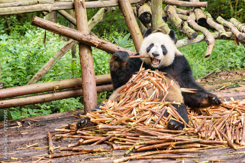 Foto op Canvas Panda Funny giant panda eating bamboo and looking at the camera