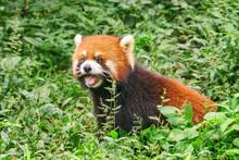 Cute Red Panda In Green Grass ...