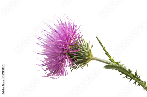 Thistle flower isolated Canvas Print
