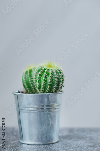 Poster Cactus Houseplant, cactus, echinopsis in a metal flowerpot on gray table
