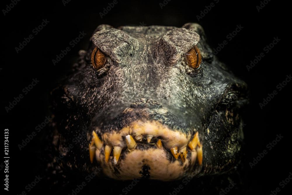 Head of a crocodile (Paleosuchus palpebrosus). Dwarf Caiman.