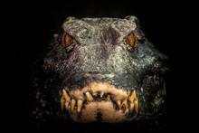 Head Of A Crocodile (Paleosuch...