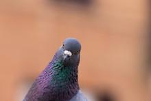 Pigeon Staring At Camera