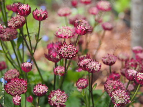 Astrantia major 'Moulin Rouge' - great masterwort Wallpaper Mural