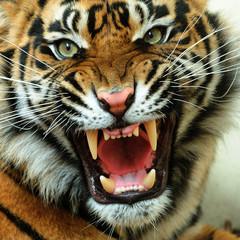 NaklejkaAngry tiger
