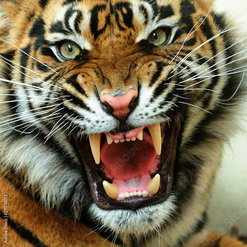 Photo sur Toile Tigre Angry tiger