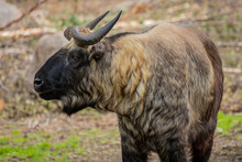 The Mishmi Takin (Budorcas Tax...