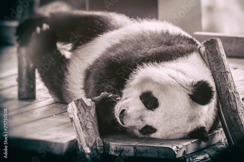 Spoed Foto op Canvas Panda The giant panda (Ailuropoda melanoleuca)