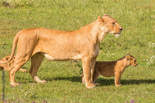 Panthera Leo female lion with lion cub standing Ngorongoro