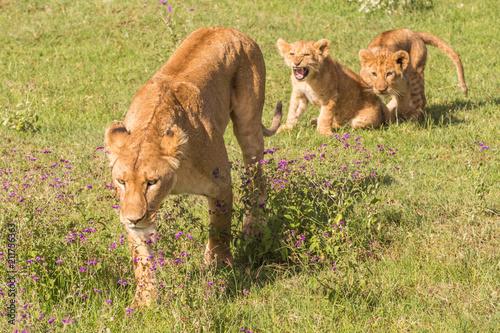 Staande foto Leeuw Panthera leo female lion with lions cub Ngorongoro Tanzania Africa