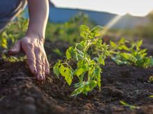Girl Planting Seedlings Tomatoes In The Garden