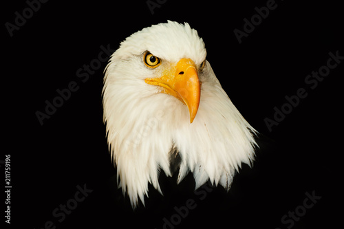Portrait american eagle on the black background (Haliaeetus leucocephalus)
