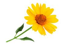 Yellow Daisy Flower Closeup