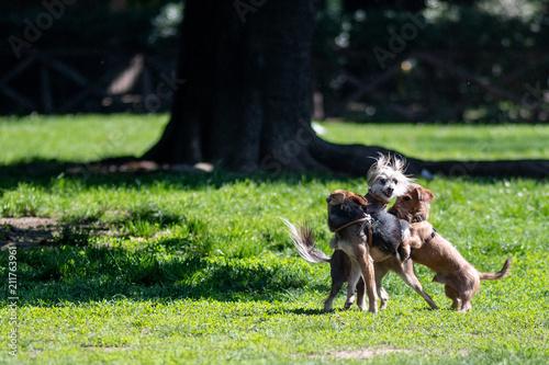 Fotografiet Piccoli cagnolini che giocano fra loro in un parco cittadino