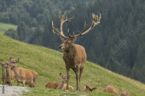 In de dag Hert Deer, Red Deer