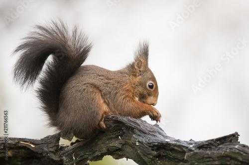 Keuken foto achterwand Eekhoorn Squirrel, rodent