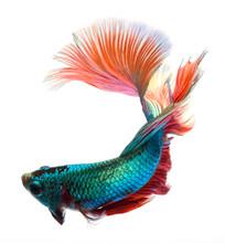 Halfmoon Betta Fish, Siamese F...