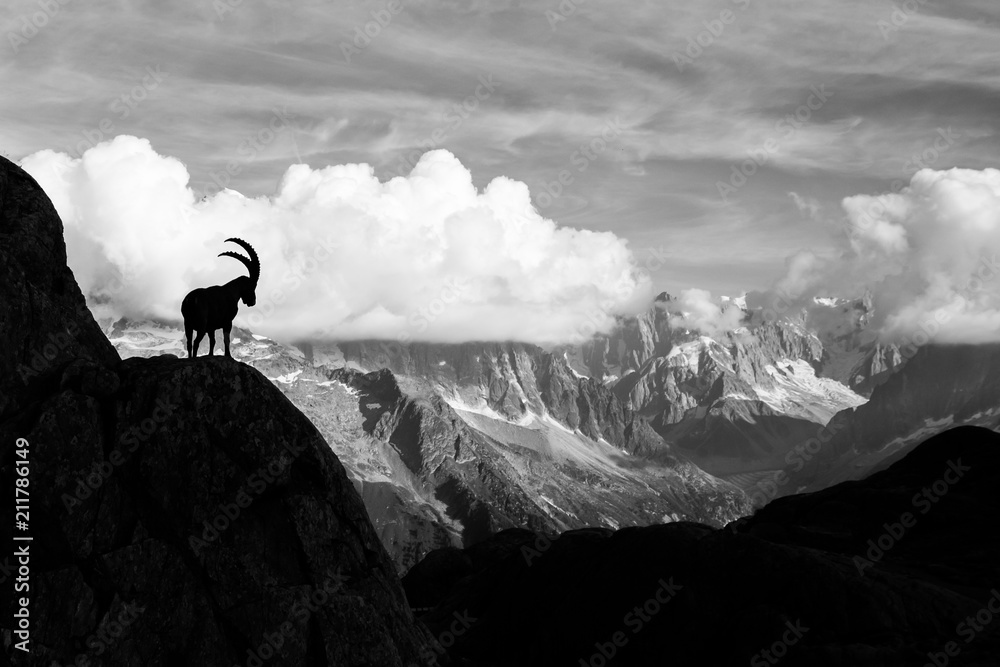 Fototapeta Wild Ibex in front of Iconic Mont-Blanc Mountain on a Sunny Summer Day