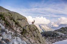 Wild Ibex In Front Of Iconic Mont-Blanc Mountain On A Sunny Summer Day.