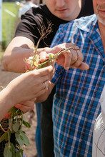 Soybean Roots In The Hands Of Farmers