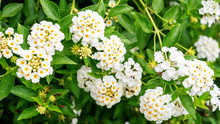 White Lantana Camara Flower In A Garden.