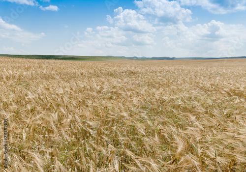 Staande foto Cultuur wheat field on the background