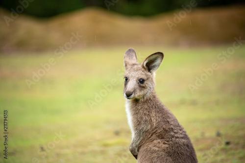 Fotobehang Kangoeroe Kangaroo baby