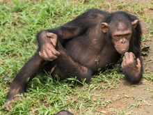 Chimpanzee Consists Of Two Ext...