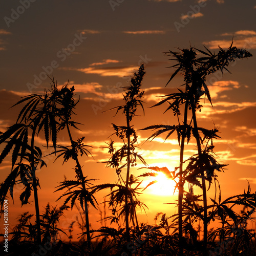 Photo Cannabis and the bright disk of the sun