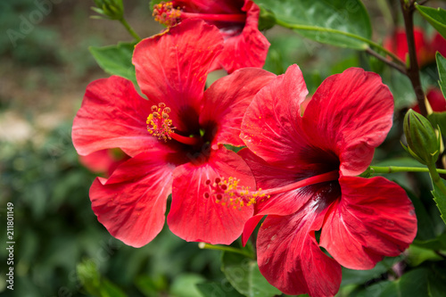 Red hibiscus flower on a green blurred background