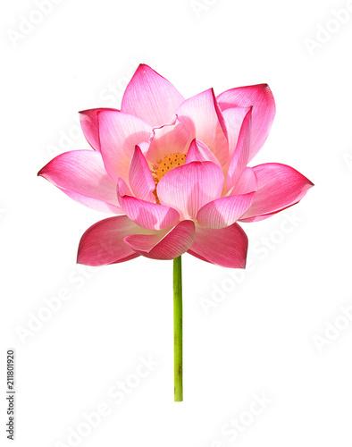 Montage in der Fensternische Lotosblume lotus flower