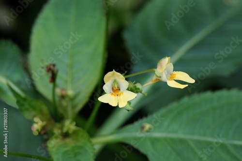 Smallyellow flowers of impatiens parviflora wild plant buy this smallyellow flowers of impatiens parviflora wild plant mightylinksfo