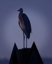Reddish Egret In Florida