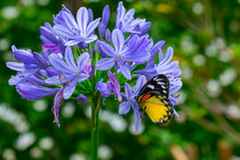 Butterfly On Agapanthus Flower...