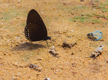 Butterflies Are Eating Mineral...