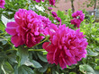 Flowers of bright pink peonies. Large garden flowers