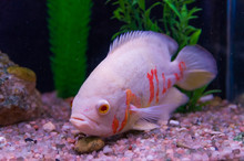 Predatory Fish Close-up Of The...